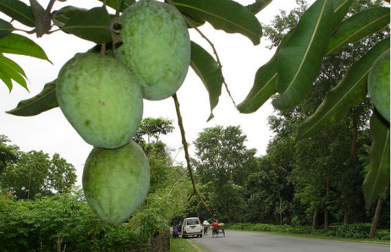 Road side Mango Tree - Chapai Nawabgonj Bangladesh